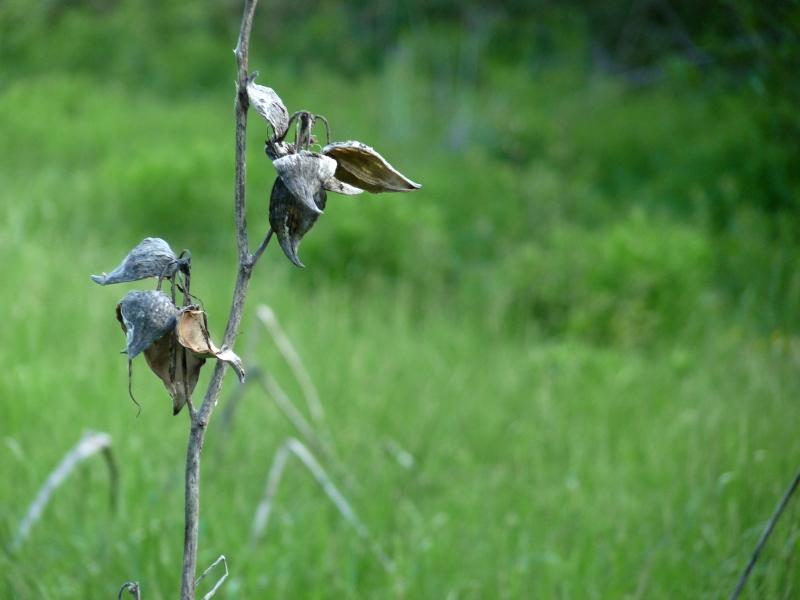 Milkweed - Farley Meadow Audobon Sanctuary, Hollis, NH