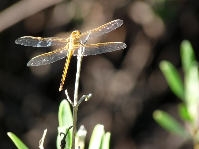 Dragonfly - Ocean Ridge Natural Area, Boynton Beach, FL