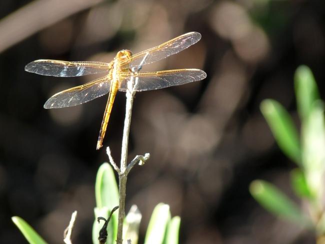 Dragonfly - Ocean Ridge Natural Area, Boynton Beach, FL