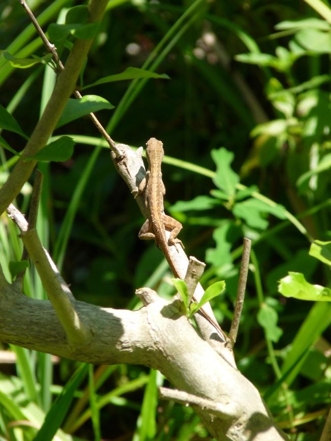 Lizard - Gumbo Limbo Nature Center