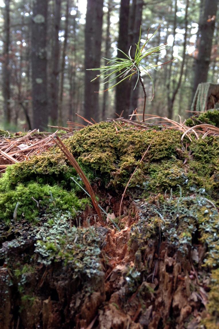 tiny_pine_tree